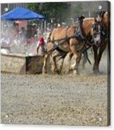 Horse Pull - Team A Acrylic Print