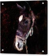 Horse Study #4 Acrylic Print