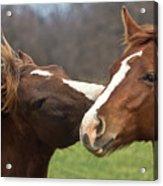 Horse Whisperer Acrylic Print by Mamie Thornbrue