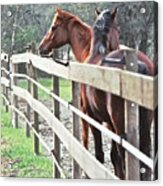 Horse Whisperers Acrylic Print