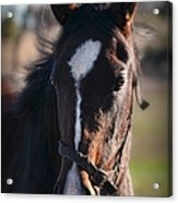 Horse Whispering Acrylic Print