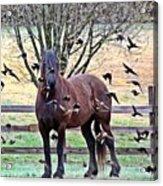 Horsebirds Acrylic Print