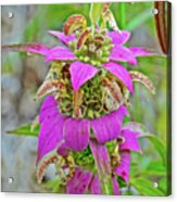 Horsemint On Trail To North Beach Park In Ottawa County, Michigan Acrylic Print