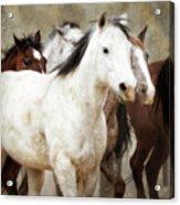 Horses-01 Acrylic Print