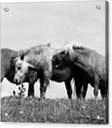 Horses 3 Acrylic Print