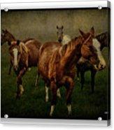 Horses 31 Acrylic Print