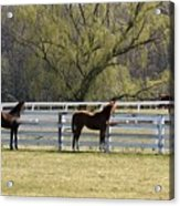Horses 363 Acrylic Print