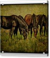 Horses 37 Acrylic Print