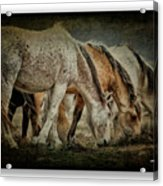 Horses 39 Acrylic Print