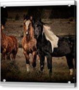 Horses 40 Acrylic Print