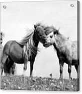 Horses 8 Acrylic Print