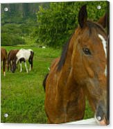 Horses At Kualoa Ranch Acrylic Print