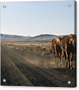Horses Cruising Acrylic Print
