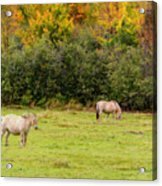 Horses Enjoying A Beautiful Autumn Day Acrylic Print
