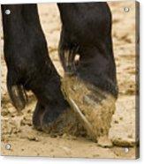 Horses Feet Acrylic Print