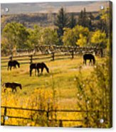 Horses Grazing In The Late Afternoon Acrylic Print