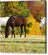 Horses In Autumn Acrylic Print