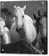 Horses In Black And White Acrylic Print