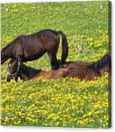 Horses In Daisy Field Acrylic Print