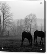 Horses In Field B And W Acrylic Print