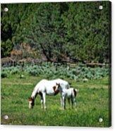 Horses In Meadow - California Acrylic Print
