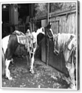 Horses In The Barn Acrylic Print