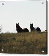 Horses In The Field Acrylic Print