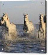 Horses In Water Acrylic Print