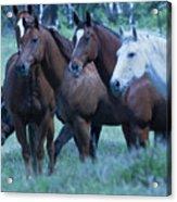 Horses Looking Acrylic Print