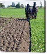 Horses Plowing Rows  Acrylic Print