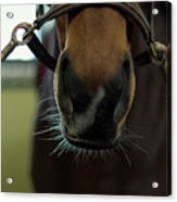 Horse Whiskers Acrylic Print