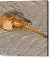 Horseshoe Crab Acrylic Print