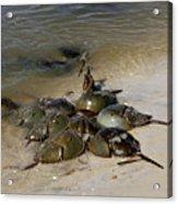 Horseshoe Crabs Acrylic Print