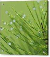 Horsetail With Dew Acrylic Print