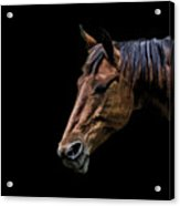 Horsing Around Acrylic Print