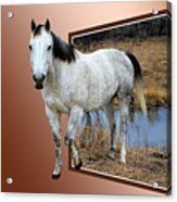 Horsing Around Acrylic Print by Shane Bechler