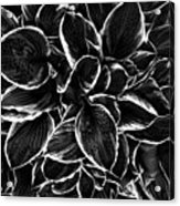Hosta In Black And White Acrylic Print