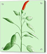 Hot Chili Pepper Plant Botanical Illustration Acrylic Print