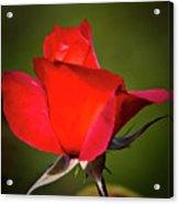 Hot Cocoa Rose Acrylic Print