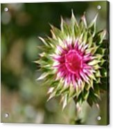 Hot Pink And Spikey Acrylic Print