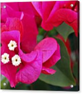 Hot Pink Bougainvillea Acrylic Print