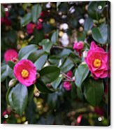 Hot Pink Camellias Glowing In The Shade Acrylic Print