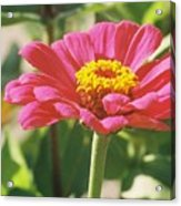 Hot Pink Flower In Frankemuth Michigan Acrylic Print