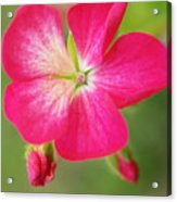 Hot Pink Geranium On A Brilliant Summer Day Acrylic Print