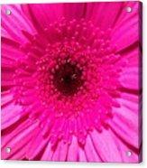 Hot Pink Gerbera Acrylic Print