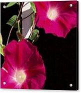 Hot Pink Glories Acrylic Print