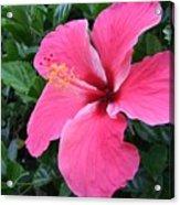 Hot Pink Hibiscus 1 Acrylic Print