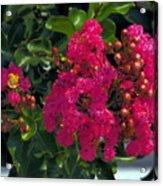 Hot Pink Jacaranda Acrylic Print