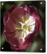 Hot Pink Tulip Center Squared Acrylic Print