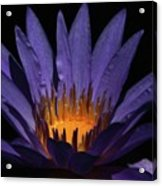 Hot Purple Water Lily Acrylic Print
